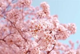 Экстракт-цветов-вишни